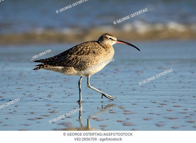 Whimbrel, Municipal Beach Park, Monterey, California