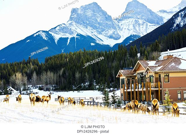 Herd of elk grazing in residential area without fear of humans; Canmore, Alberta, Canada