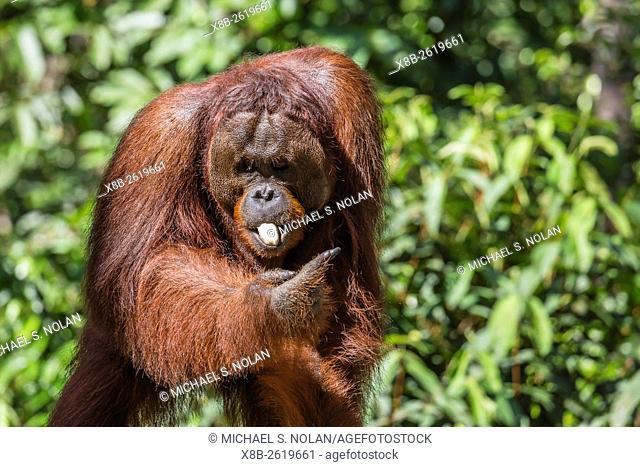 Reintroduced unflanged male orangutan, Pongo pygmaeus, Camp Leakey, Tanjung Puting National Park, Borneo, Indonesia