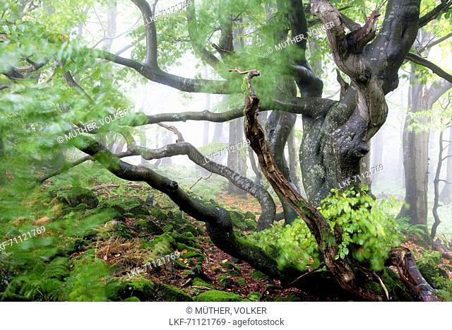 Old beech, Rhoen Biosphere Reserve, Bavarian Rhoen Nature Park, Bavaria, Germany