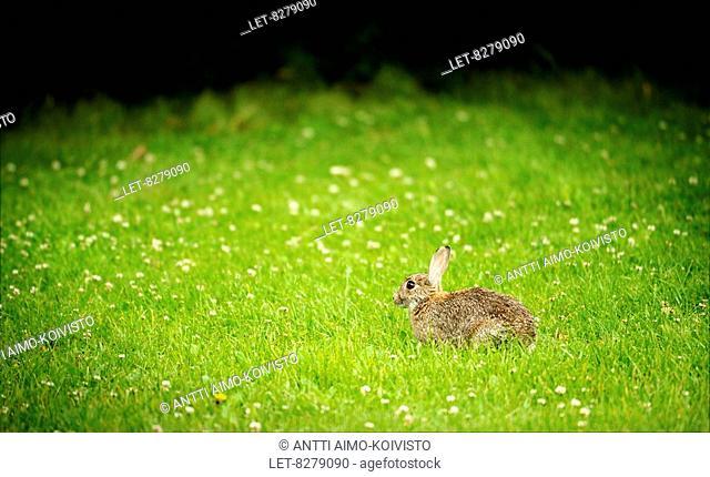 European rabbit Oryctolagus cuniculus in Töölönlahti - Helsinki, Finland