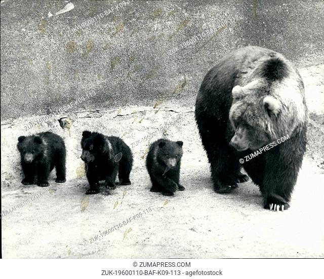 1979 - Wilma Shows off Her Triplets At Whipsnade - Wilma, an Adult female Kodiak Bear, today showed off her new family of triplets for the First time at...