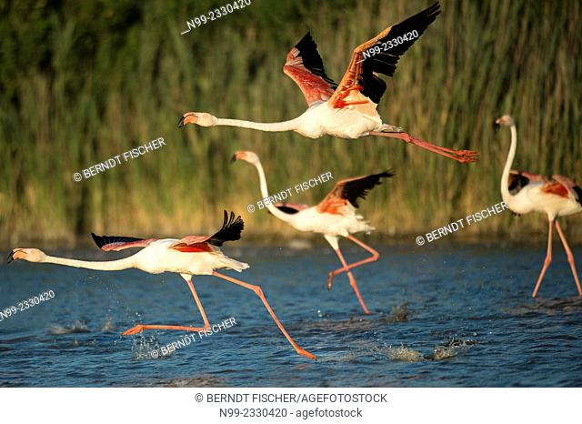 Greater flamingos (Phoenicopterus ruber), starting for flying, Camargue, France