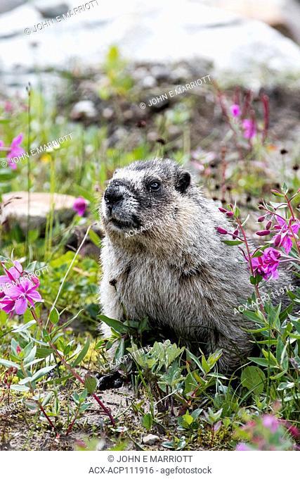 Hoary Marmot, Marmota caligata, British Columbia, Canada