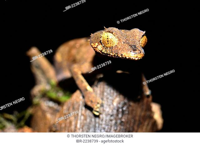 Spearpoint Leaf-tail Gecko (Uroplatus ebenaui) in the Amber Mountain National Park, Madagascar, Africa