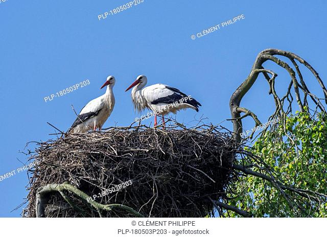White stork (Ciconia ciconia) couple nesting on huge nest in tree top in spring