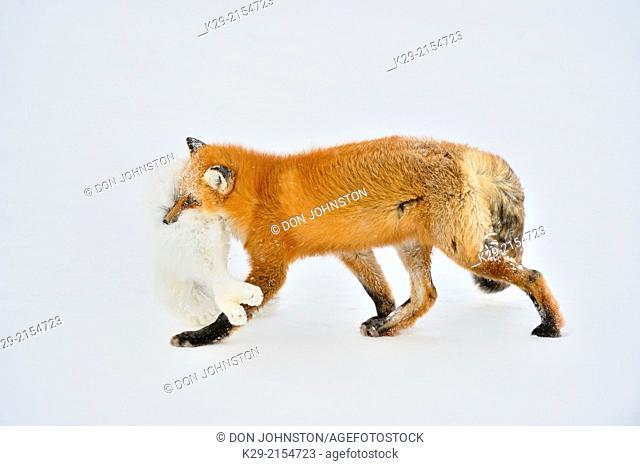 Red fox (Vulpes vulpes), consuming and caching an Arctic Fox (Alopex lagopus) carcass it killed, Wapusk NP, Cape Churchill, Manitoba, Canada