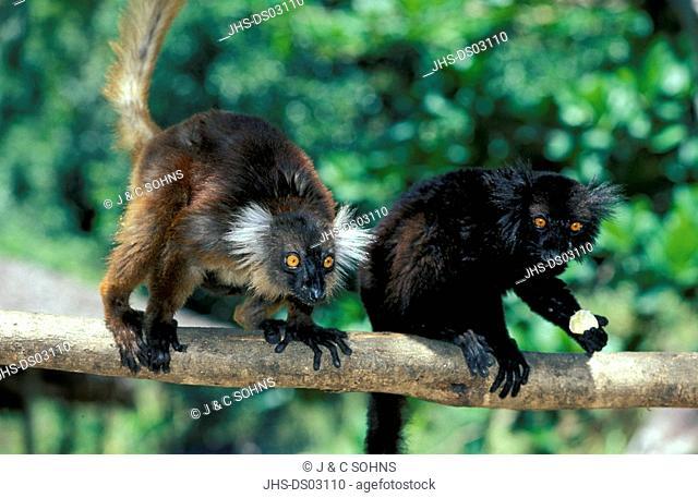 Black Lemur,Lemur macaco,Nosy Komba,Madagascar,Africa,adult couple on tree