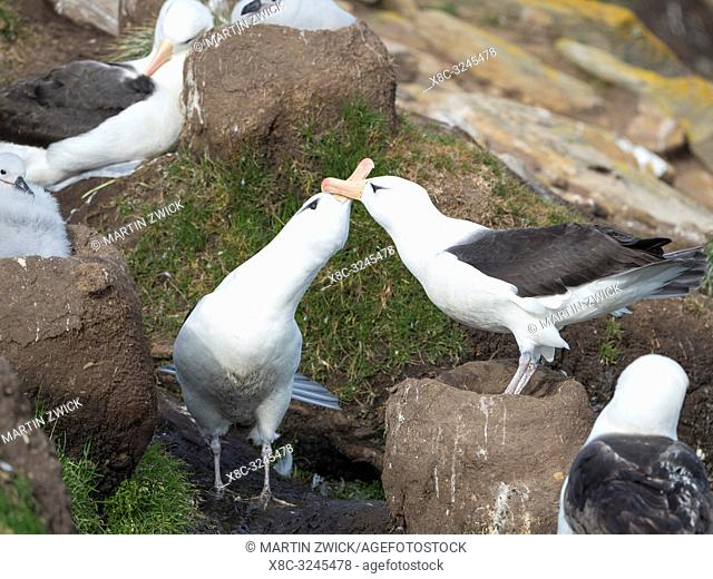 Black-browed albatross or black-browed mollymawk (Thalassarche melanophris), typical courtship and greeting behaviour. South America, Falkland Islands, January