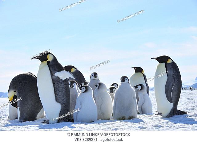 Emperor penguins, Aptenodytes forsteri, Adults and Chicks, Snow Hill Island, Antartic Peninsula, Antarctica