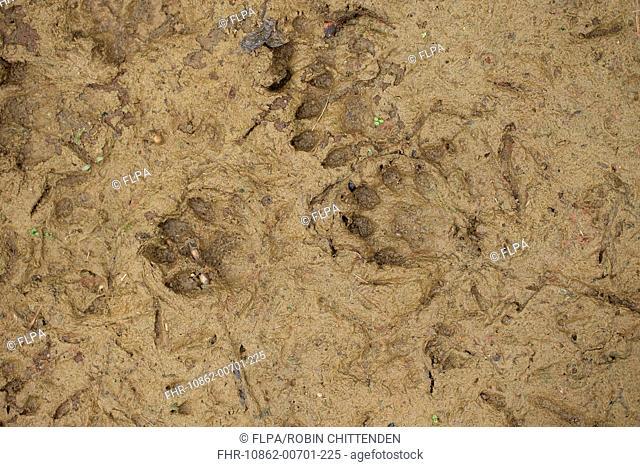 European Otter (Lutra lutra) footprints in mud, Suffolk, England, October
