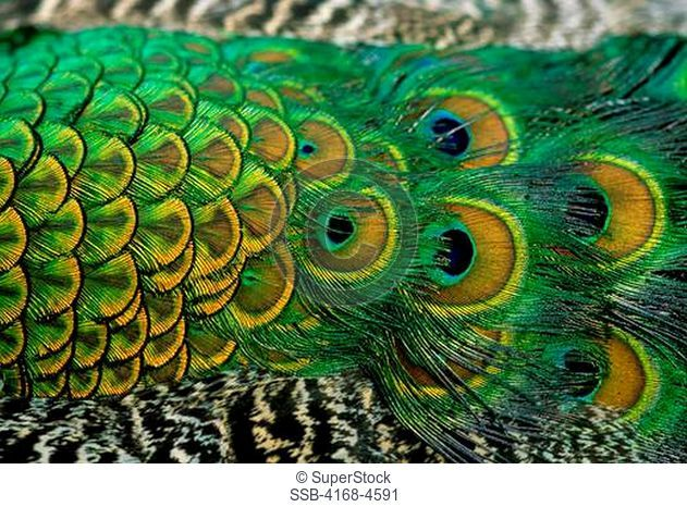 USA, Hawaii, Oahu, Valley Of The Temples, Byodo-in temple, Peacock, Close-Up Of Tail Feathers