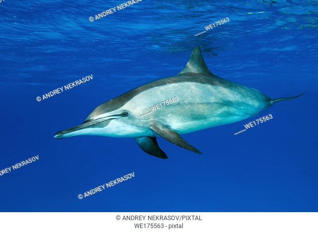 Spinner Dolphin, Stenella longirostris swim in the blue water. Red Sea, Marsa Alam, Egypt, Africa