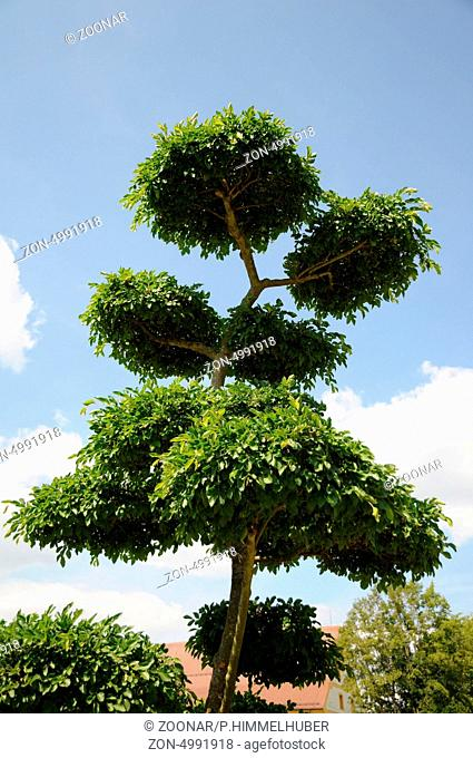 Chineses Elm