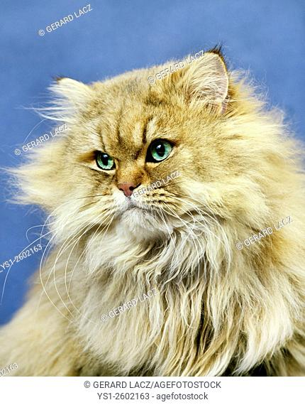 Golden Persian Domestic Cat, Portrait