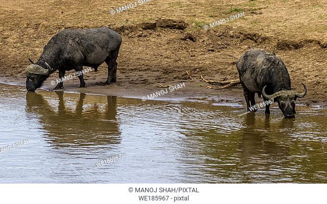 African Buffallo drinking water from Mara River in Masai Mara