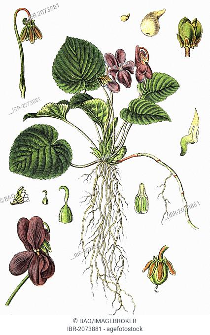 Sweet violet (Viola odorata), medicinal and useful plants, chromolithography, 1880