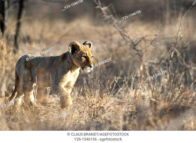 Young male lion panthera leo strolling trhough dry grass  Greater Kruger Park, South Africa