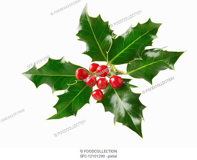 Fresh holly leaves with red berries against a white background
