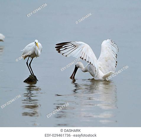 Black-faced Spoonbill in shenzhen China, This species is known as a winter migrant in China. IUCN is now listed this species as an Endangered (EN) bird (Current...