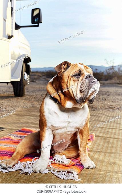 Portrait of bulldog looking away in trailer park