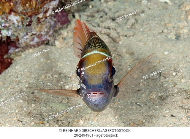 Bigeye Emperor cleaned by Shrimp, Monotaxis grandoculis, Russell Islands, Solomon Islands