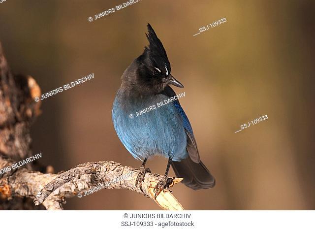 animal,bird,Stellers-jay