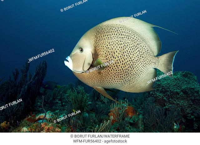 Gray Angelfish, Pomacanthus arcuatus, Palm Beach, Florida, USA