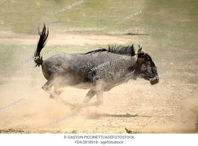 Blue wildebeest (Connochaetes taurinus) - running, Kgalagadi Transfrontier Park, Kalahari desert, South Africa/Botswana