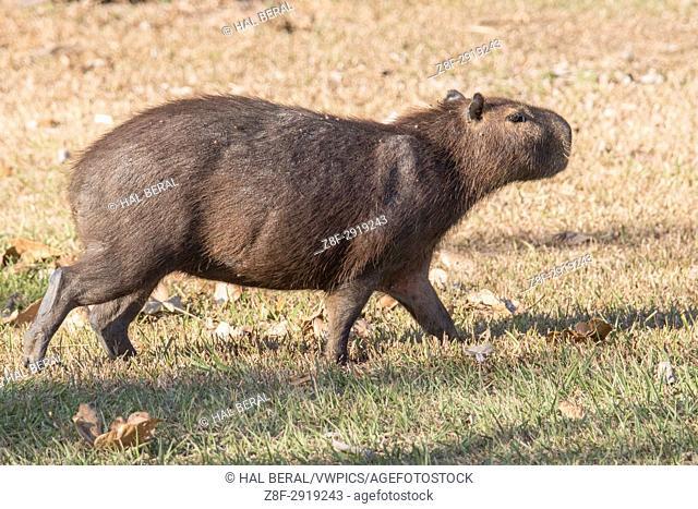 Capybara (Hydrochoerus hydrochaeris) Pantanal, Brazil