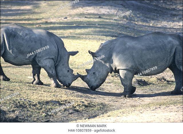 Animal, Animals, Battle, Battles, square-lipped rhinoceros, Ceratotherium simum, Duel, Dueling, Duels, Fight, rhinoc