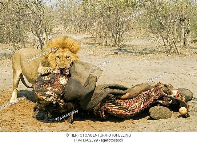 eating lion