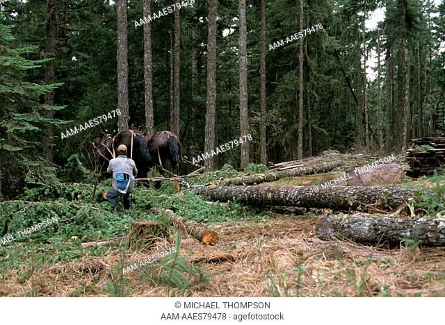 Horse Logging Team thinning Forest at rural Home, Oregon, eco friendly