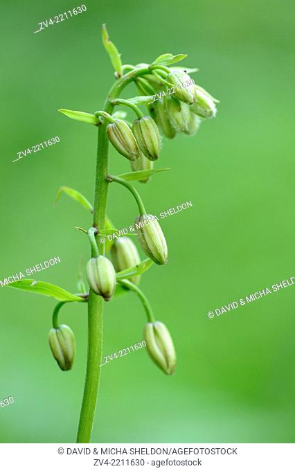 Close-up of Martagon or Turk's cap lily (Lilium martagon) blossom buds in a meadow in spring