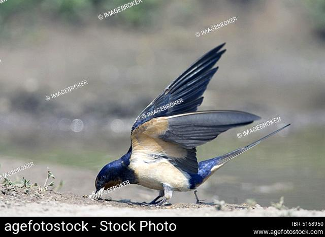 Barn swallow (Hirundo rustica) collects nesting material, swallow, swallows, lateral, Bulgaria, Europe