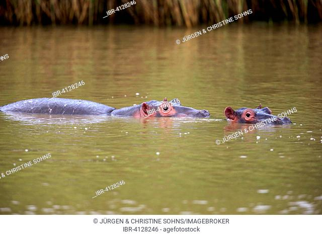 Two Hippopotamuses (Hippopatamus amphibius), adult, in water, Saint Lucia Estuary, iSimangaliso Wetland Park, Kwazulu Natal, South Africa