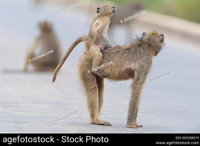 Baby baboon in the wilderness of Africa