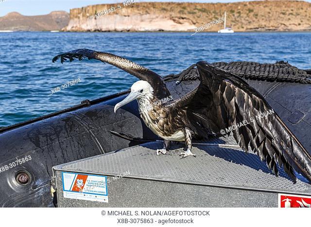 Juvenile magnificent frigatebird, Fregata magnificens, rescued from the sea in San Gabriel Bay, Espiritu Santo Island, BCS, Mexico