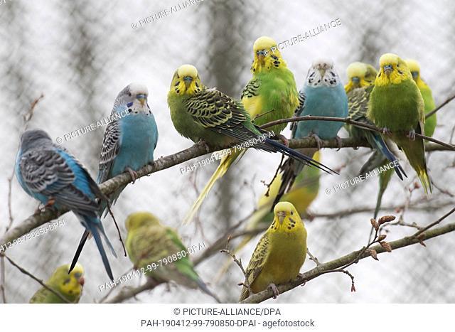 11 April 2019, Mecklenburg-Western Pomerania, Marlow: Budgerigars sit in the restored budgerigar parlour in the bird park