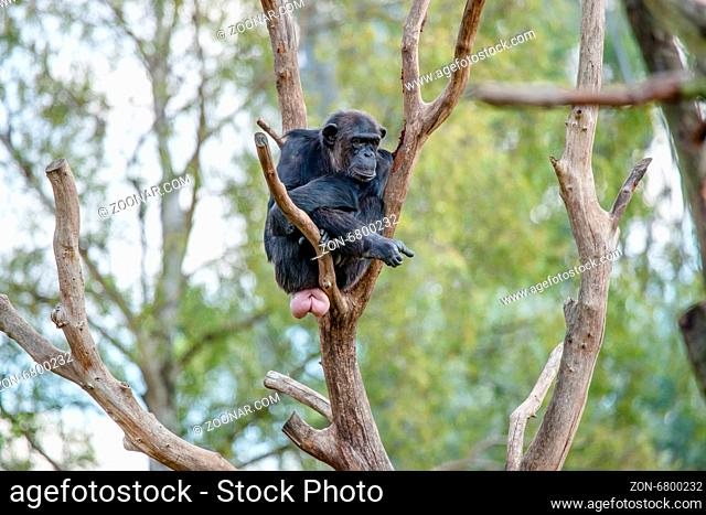 Bored chimpanzee in a tree in the zoo