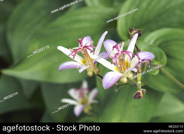 Taiwanese toad lily (Tricyrtis formosana)