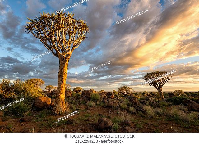 Landscape photo of quiver trees below a colourful sunrise sky. Quiver Tree Forest, Keetmanshoop, Namibia