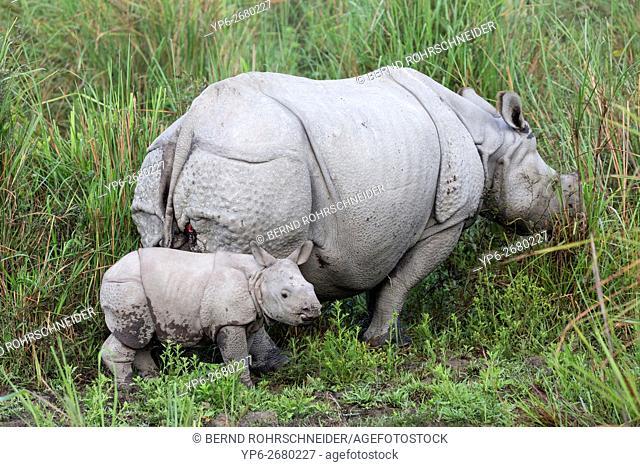 Indian rhinoceros (Rhinoceros unicornis), female with young, threatened species, Kaziranga National Park, Assam, India