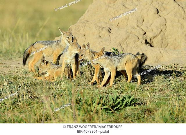 Black-backed Jackals (Canis mesomelas), puppies playing in front of their den under a termite mound, Maasai Mara, Kenya