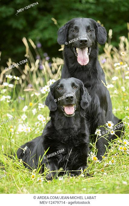 Flat coated retriever dogs outdoors