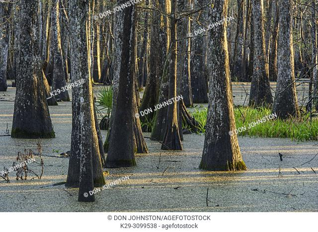 Cypress swamp, Abbeville, Louisiana, USA