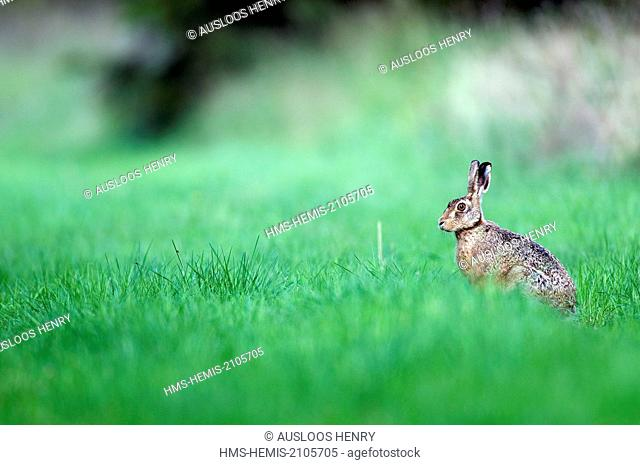 Brown hare or Europe (Lepus europaeus)