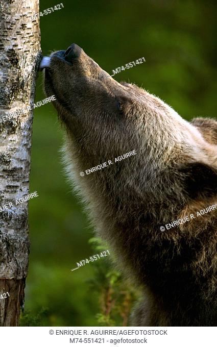 Brown bear (Ursus arctos) licking a tree, Scandinavian taiga, Finland