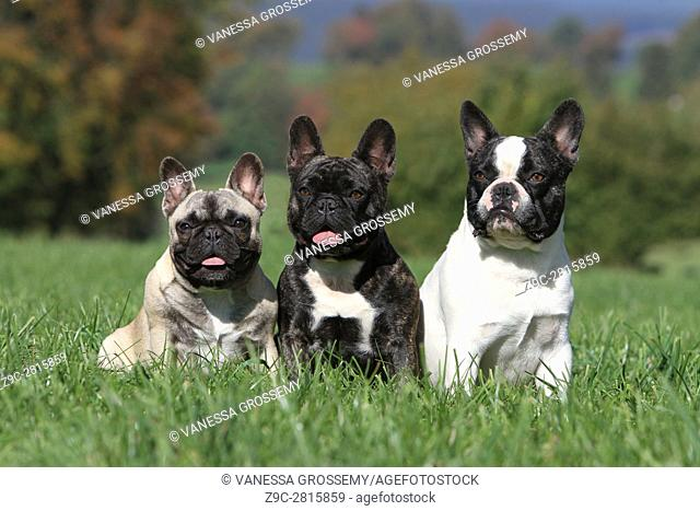 Dog French Bulldog three adults sit in a meadow
