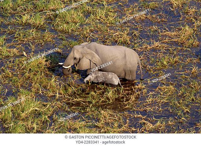Aerial view of African Elephants (Loxodonta africana) Okavango Delta, Botswana. The Okavango Delta is home to a rich array of wildlife